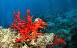 Коралл — магический посланник со дна морского